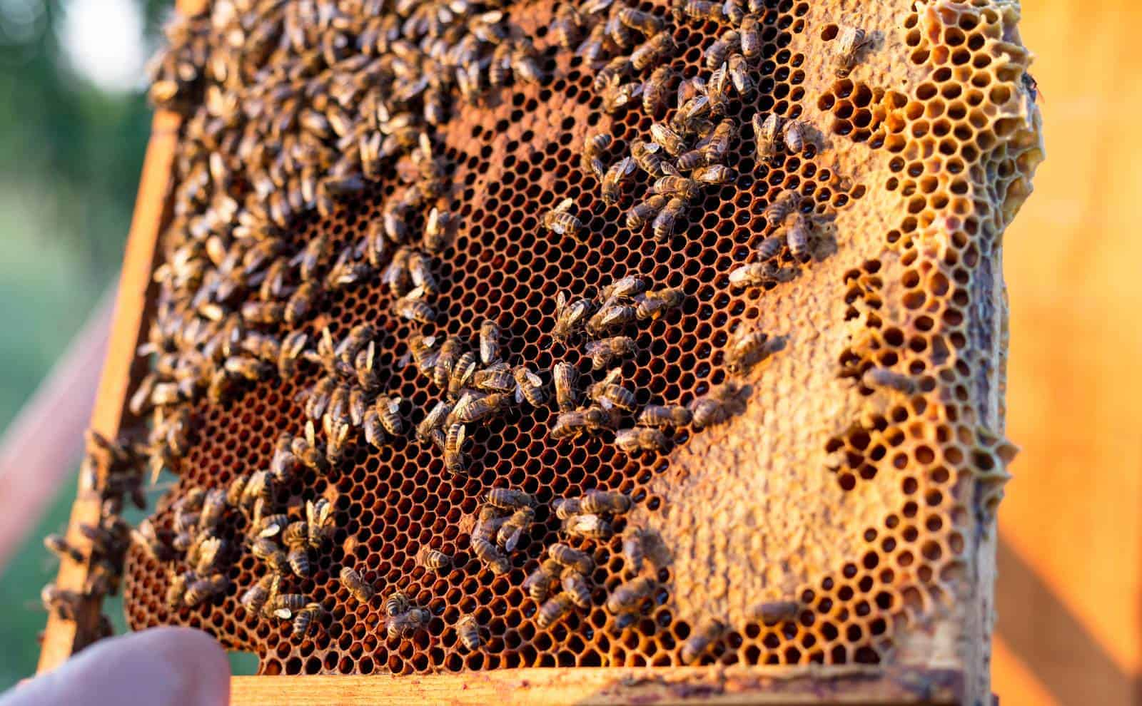 How often can honey be harvested.