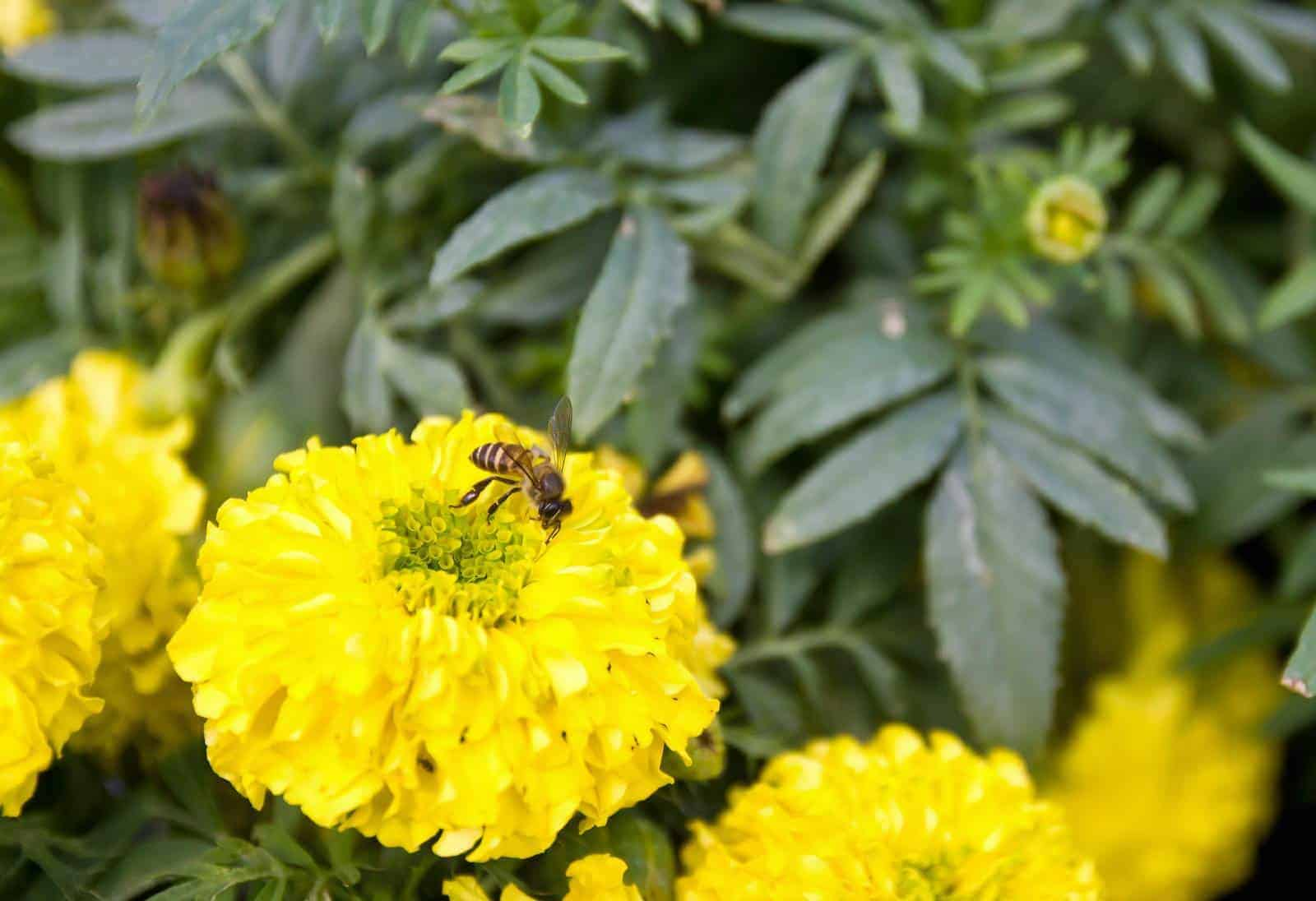Are bees attracted to Marigolds?