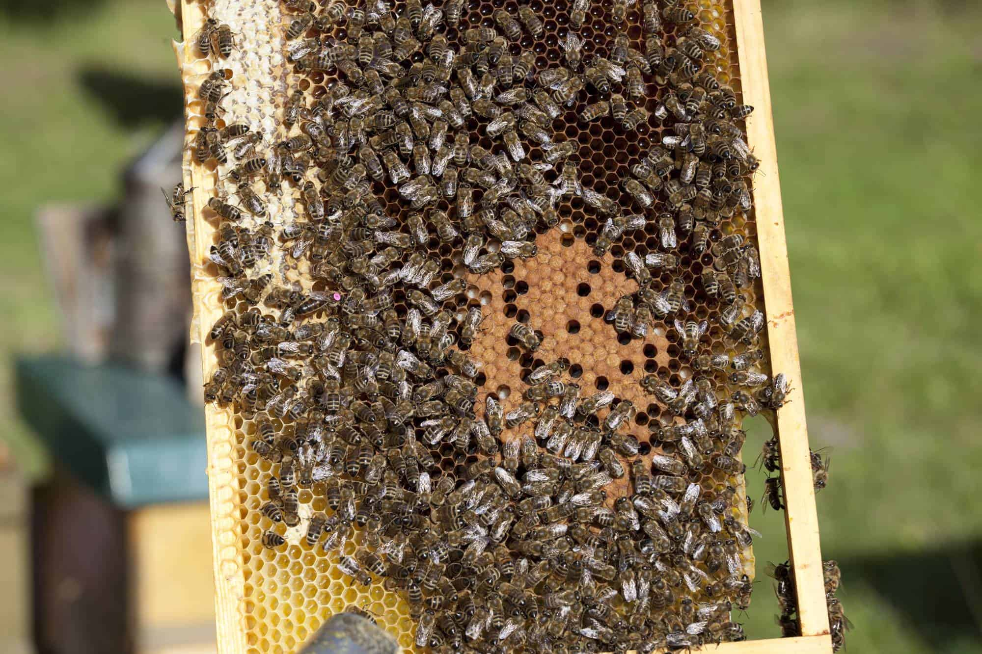 Bees Without Their Queen