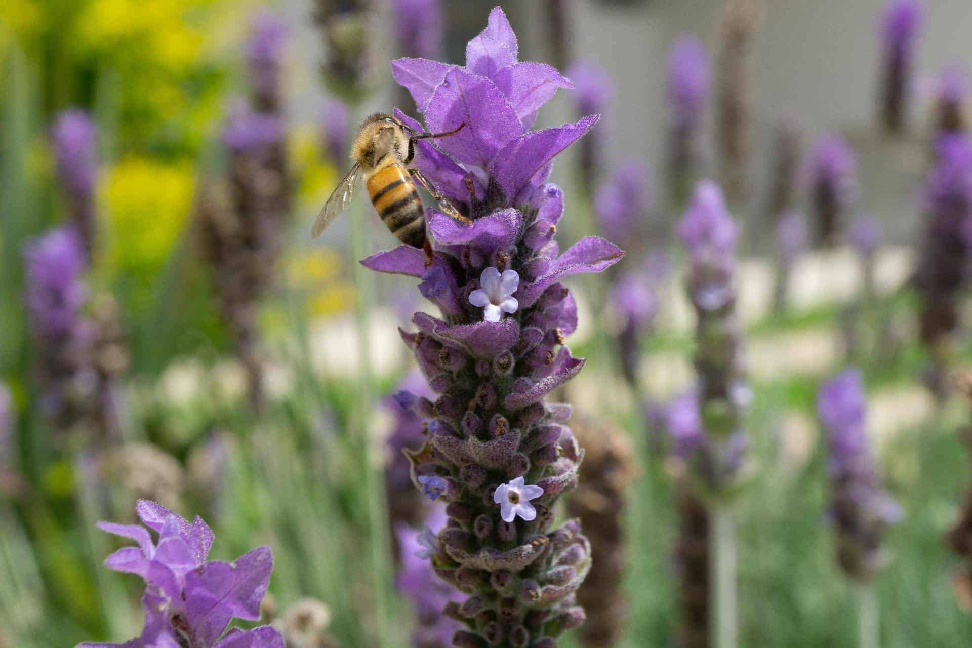 Why do bees love lavender so much?