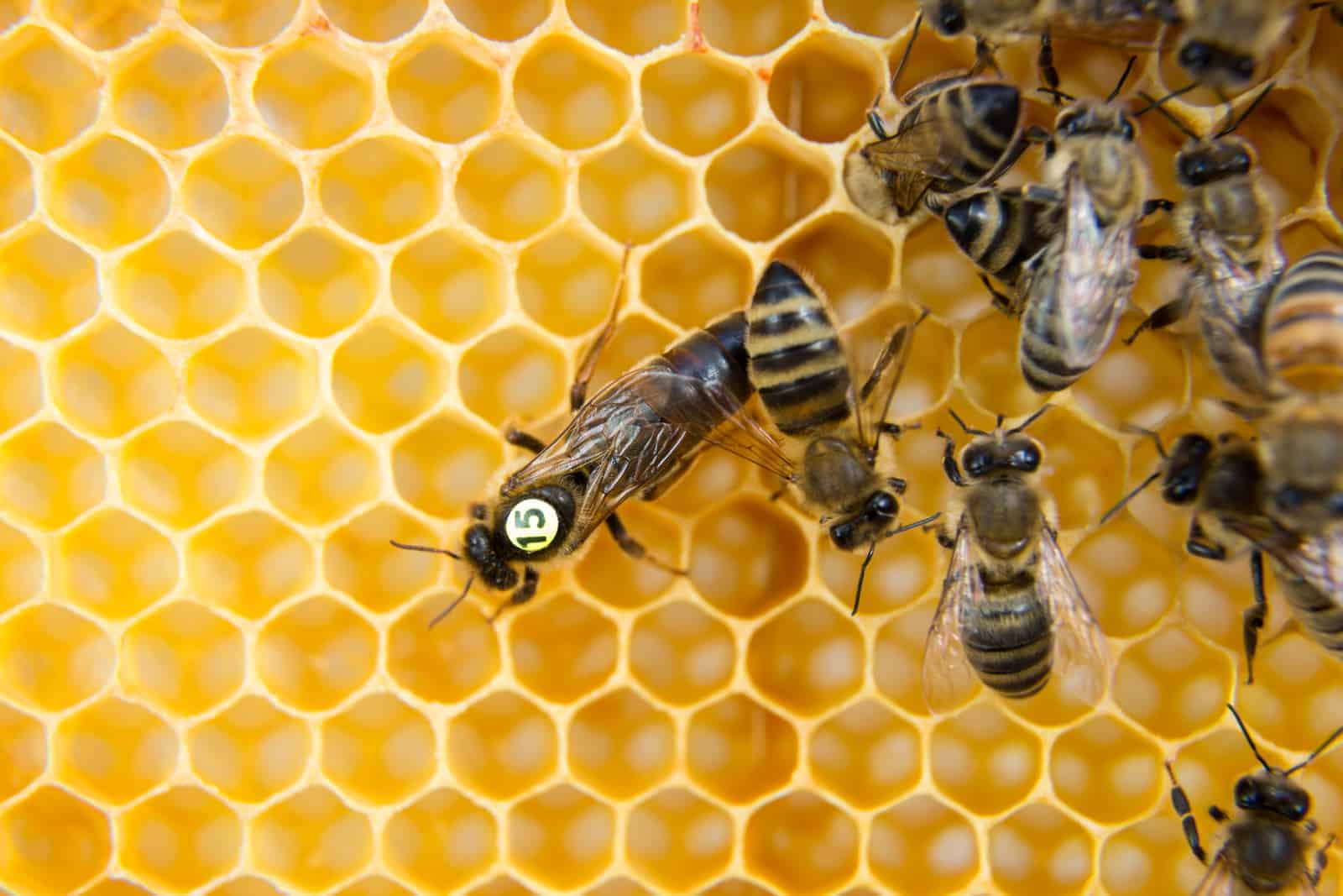 why is your queen bee not laying eggs?