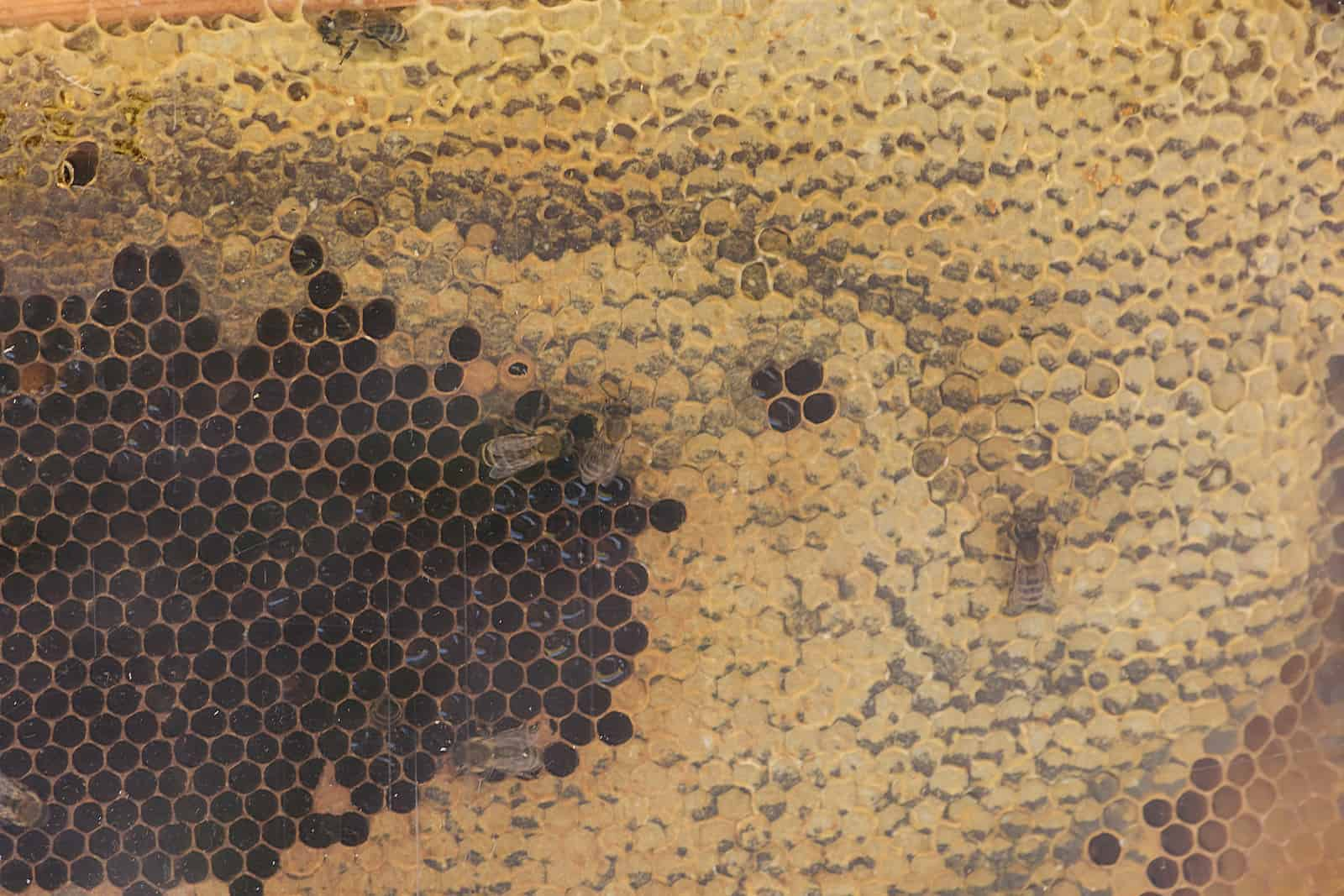 will bees clean out dead brood?