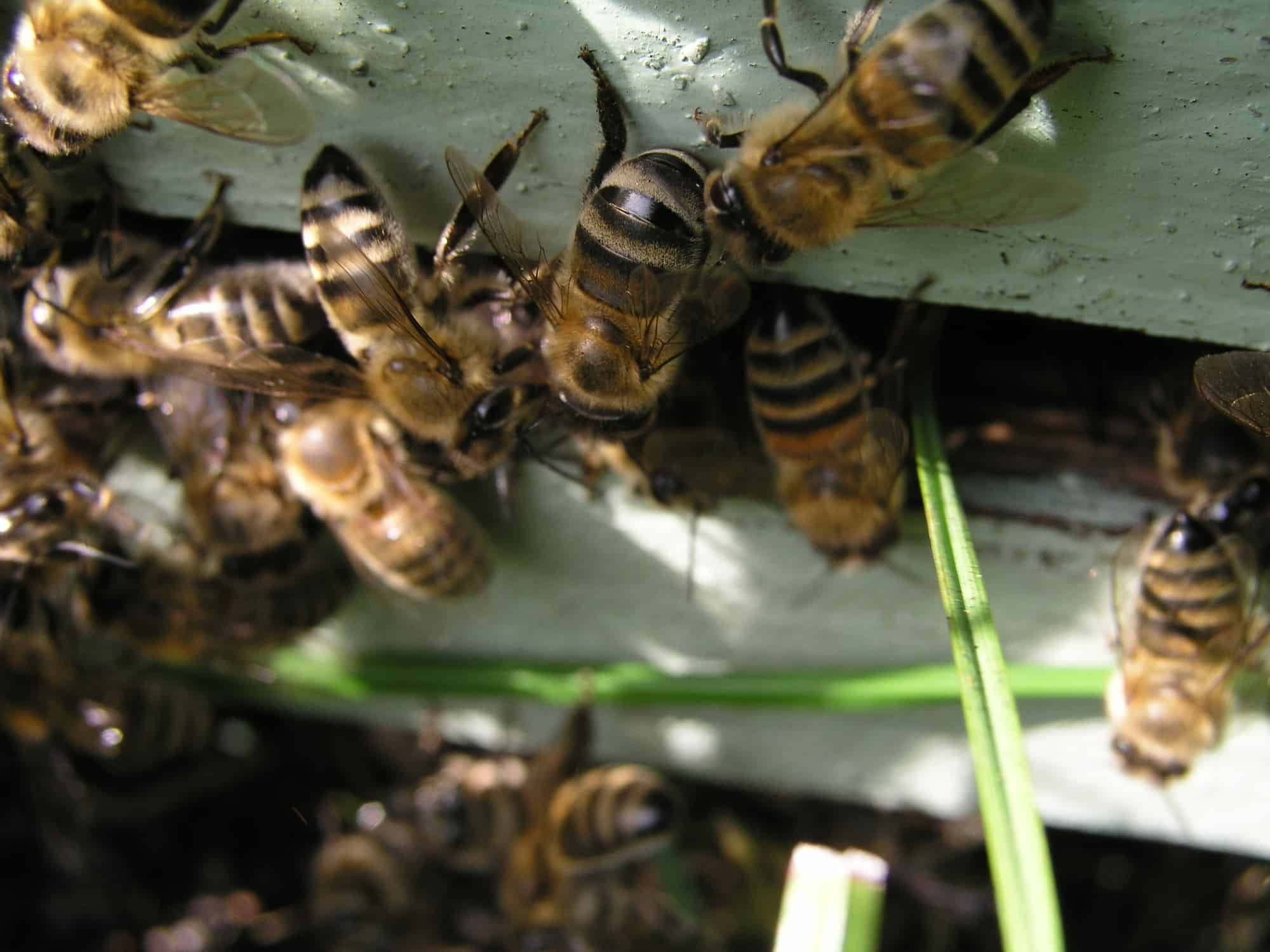 how long do guard bees live?