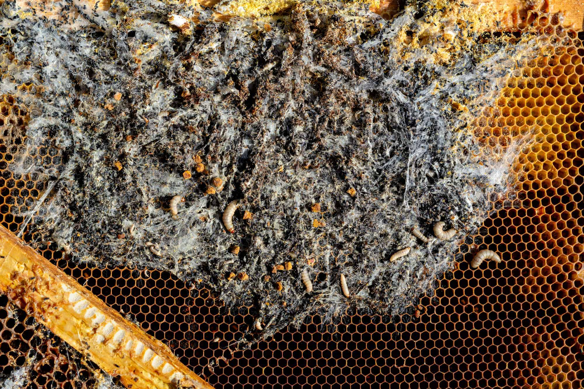 Is It Safe to Eat Honey That Has Wax Moths?