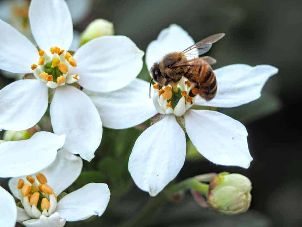 What Clover do Bees Like Best