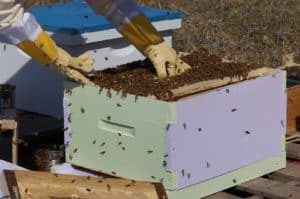 Should You Buy Packaged Bees or Nucs?